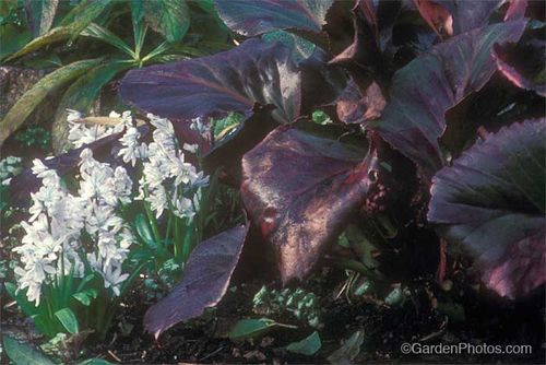 Graham Rice,bergenia,scilla. Image ©GardenPhotos.com (all rights reserved)