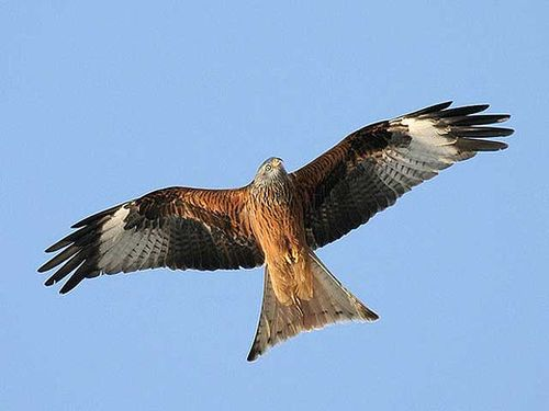 Red kite,Milvus milvus. Image ©Thomas Kraft (ThKraft). This image is licensed under the Creative Commons Attribution-Share Alike 2.5 Generic license.