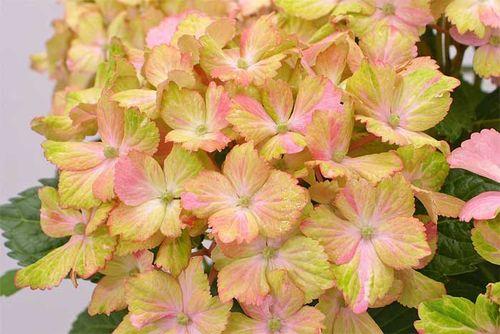 Graham Rice,Hydrangea,Forever,Ever,Fantasia. Image ©foreverhydrangea.com