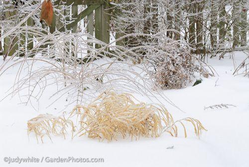 Hakonechloa,Kolkwitzia,judywhite,GardenPhotos.com,snow,garden. Image ©GardenPhotos.com (all rights reserved)