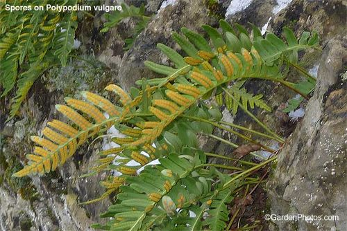 Polypodium,polypody,fern. Image ©GardenPhotos.com (all rights reserved)