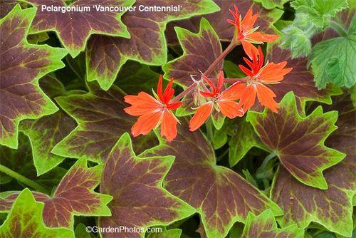 Pelargonium,zonal,geranium,Vancouver,Centennial,Pelgardini. Image ©GardenPhotos.com (all rights reserved)