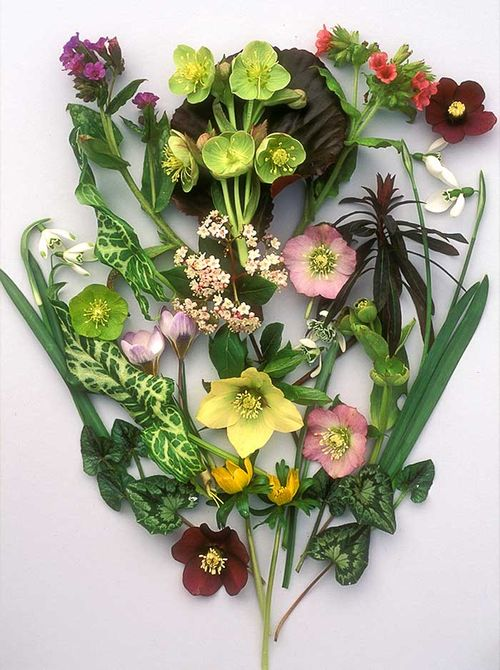 Graham Rice,february,flowers,hellebores,snowdrops. Image ©GardenPhotos.com (all rights reserved)