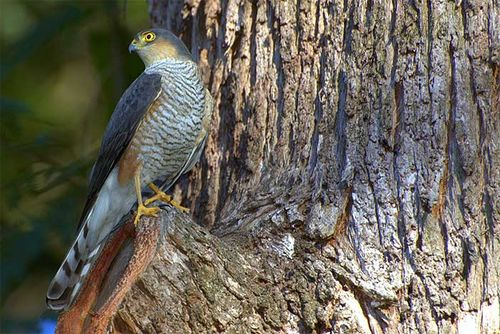 sharp shinned,hawk,Accipiter striates. Image by Dario Sanches and used here, with thanks, under the Creative Commons Attribution-Share Alike 2.0 Generic license.