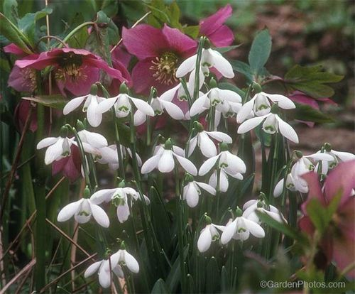Graham Rice,east lambrook,margery fish,hellebores,snowdrops. Image ©GardenPhotos.com (all rights reserved)