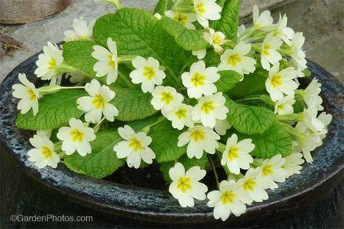 Primrose,Primula,vulgaris,wild,native. Image ©GardenPhotos.com (all rights reserved)