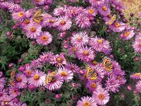 Wildlife of a garden,Jennifer Owen,tortoiseshell,aster. Image ©RHS