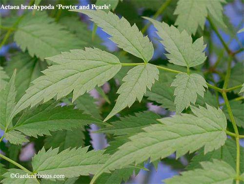 Actaea pachypoda 'Pewter and Pearls'. Image: ©GardenPhotos.com