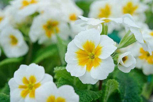 Primula140410_BarnhavenPrimroses-113