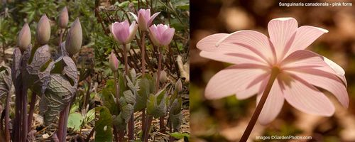 Sanguinaria,canadensis,bloodroot,buds,flowers,native,pink. Image: ©GardenPhotos.com (all rights reserved)