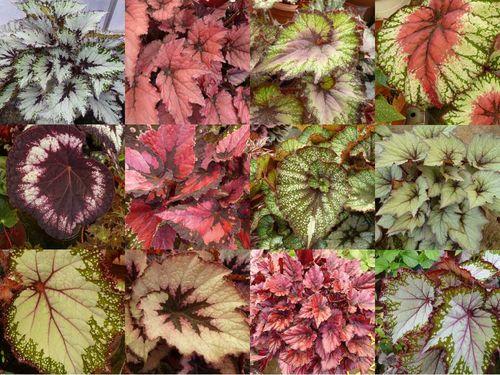 Rhodes and Rockliffe,Begonia,Chelsea Flower Show. Image ©Rhodes and Rockliffe (all rights reserved)