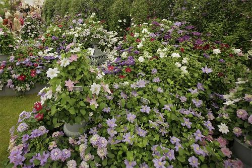 Chelsea Flower Show,Raymond Evison,Clematis. Image ©RHS (all rights reserved)