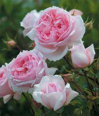 The Wedgwood Rose,David Austin,English Rose,Ausjosiah. Image ©David Austin Roses.