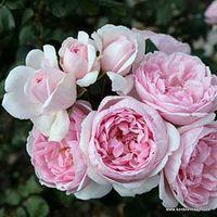 Rosa,rose,Cinderella Fairy Tale,'Korfolbalt',Kordes. Image ©Kordes.