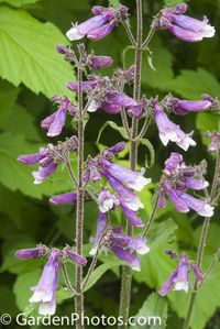 Penstemon-Prairie-Twilight-_J029085