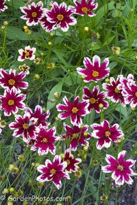Coreopsis 'Ruby Frost' - impressive at the New York Botanical Garden. Image ©GardenPhotos.com (all rights reserved)