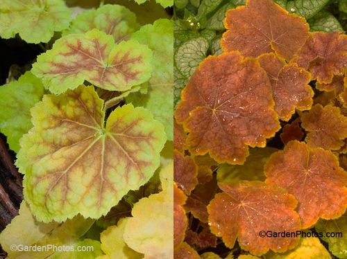 Heuchera 'Tiramisu', Multiseason. Images ©GardenPhotos.com