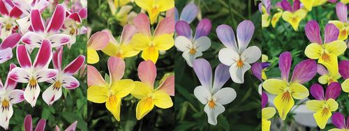 Viola Bunny Ears, new from Mr Fothergill. Images © Mr Fothergill's Seeds