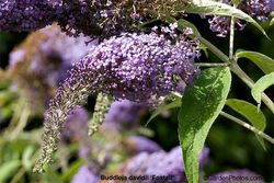 Buddleja,buddleia,Foxtail,butterfly,butterflies,RHS,trial. Image: ©GardenPhotos.com (all rights reserved)