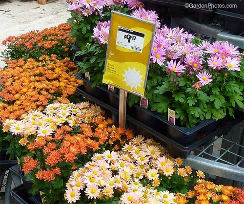 Chrysanthemum,Home Depot,spring. Image: ©GardenPhotos.com (all rights reserved)