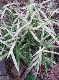 Chasmanthium,River Mist,Plant Finder,RHS. Image ©ItSaul Plants