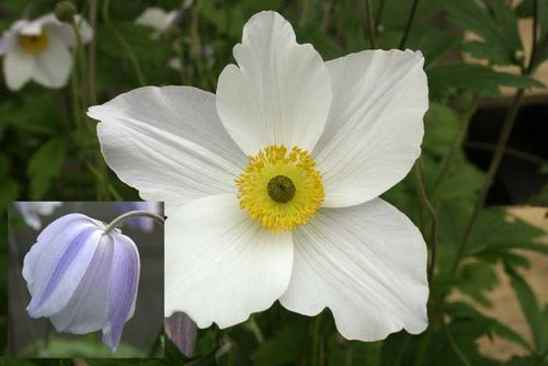 Plant of the Year,Anemone,Chelsea Flower Show. Image ©Hardy's Cottage Garden Plants