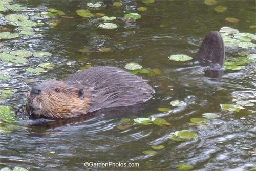Beaver,garden,Nympaea,water lily. Image ©GardenPhotos.com (All rights reserved)
