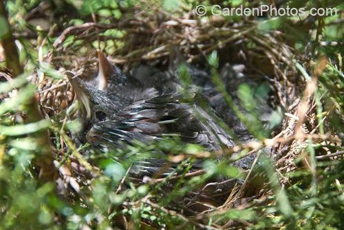 Catbird fledgling. Image © GardenPhotos.com (all rights reserved)
