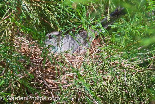 Gray Catbird (Dumetella carolinensis) on her nest. Image © GardenPhotos.com (all rights reserved)