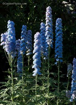 Delphinium,Alice Artindale. ©GardenPhotos.com (ll rights reserved)