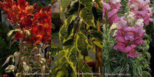 Alstroemeria Rock n Roll, Prunus Frilly Frock, Antirrhinum 'Eternal Magenta'. Images © GardenPhotos.com (all rights reserved)