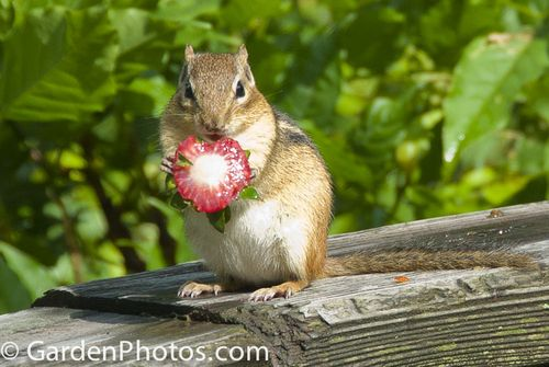 Chipmunk-Strawberry-_J031182-2