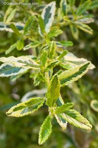 Ceanothus 'Lemon and Lime', the latest variegated form. Image ©GardenPhotos.com (all rights reserved)