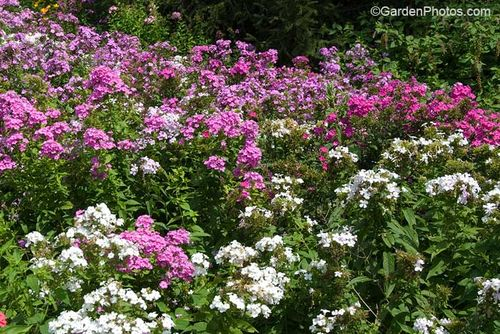 Phlox paniculata. Image ©GardenPhotos.com (all rights reserved)