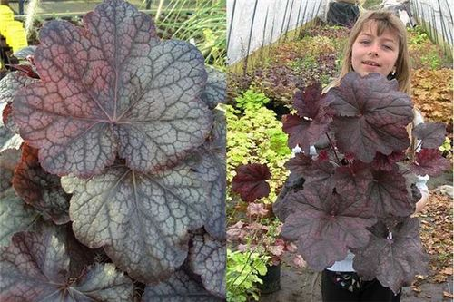 Heuchera 'Magnum', huge leaves. Images ©Thierry Delabroye.