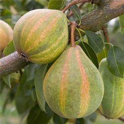 Pear Hunbug ('Pysanka') Image ©Pomona Fruits