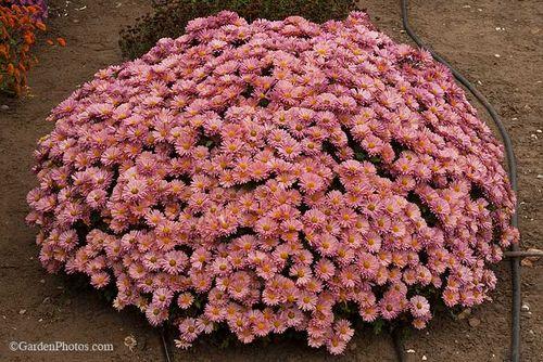 ChrysanthemumMammothCoralDaisy