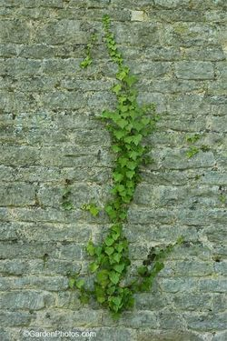 Ivy growing on a stone wall. Image ©GardenPhotos.com (all rights reserved)
