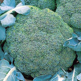 Broccoli Marathon - more antioxidants when organically grown? Image ©Marshalls Seeds