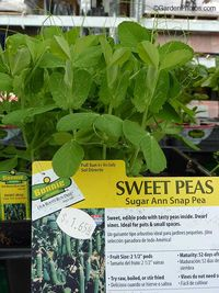 Sweet pea,snap pea,Home Depot. Image: ©GardenPhotos.com (all rights reserved)