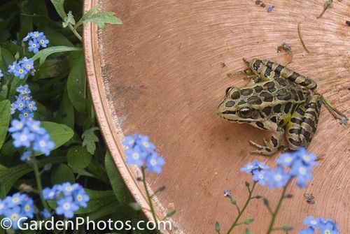 Northern Leopard Frog,Rana pipiens. Image ©GardenPhotos.com (all rights reserved)