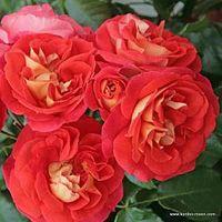 Rosa, rose, Brothers Grimm Fairy Tale, Korassenet, NYBG, Kordes. Image ©Kordes.