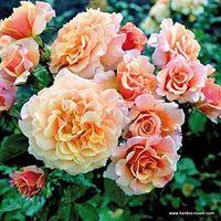 Rosa,rose,Caramel Fairy Tale,'Korkinteral', NYBG, Kordes. Image ©Kordes.
