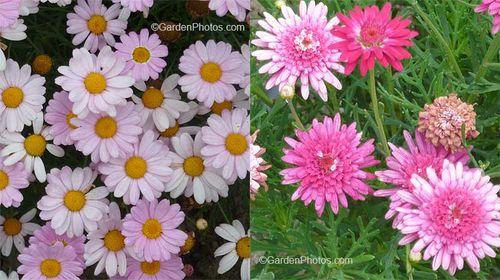 Argyranthemum,,marguerite,cobbitty daisy, fading. Images © GardenPhotos.com