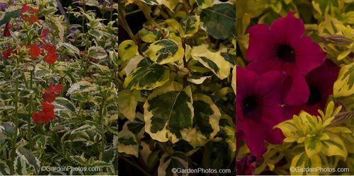 Alonsoa Lucky Lips Scarlet, Olearia arborescens 'Moondance', Petunia Surfinia Mini Purple Variegated. Images © GardenPhotos.com (all rights reserved)
