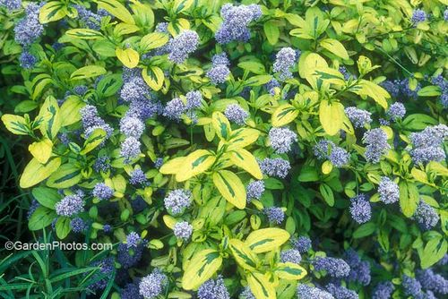 Ceanothus 'Zanzibar', the first of the variegated varieties. Image ©GardenPhotos.com (all righjs reserved)
