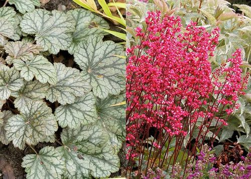 Heuchera 'Rave On' Images ©Terra Nova Nurseries