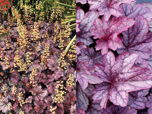 Heuchera 'Shanghai' Images ©Terra Nova Nurseries