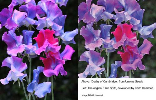 Sweet Pea, Blue Shift', 'Duchy of Cambridge'. Image ©Keith Hammett