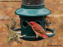 Battling for bird seed. Image ©GardenPhotos.com (all rights reserved)